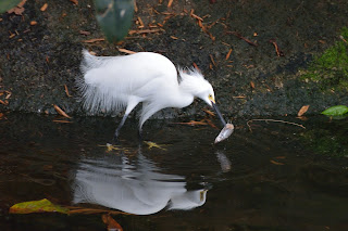 Snowy Egret at the National Aviary in Pittsburgh