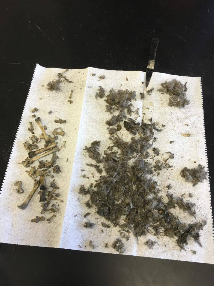 Anatomy and Physiology : Owl Pellet Analysis/Conclusion