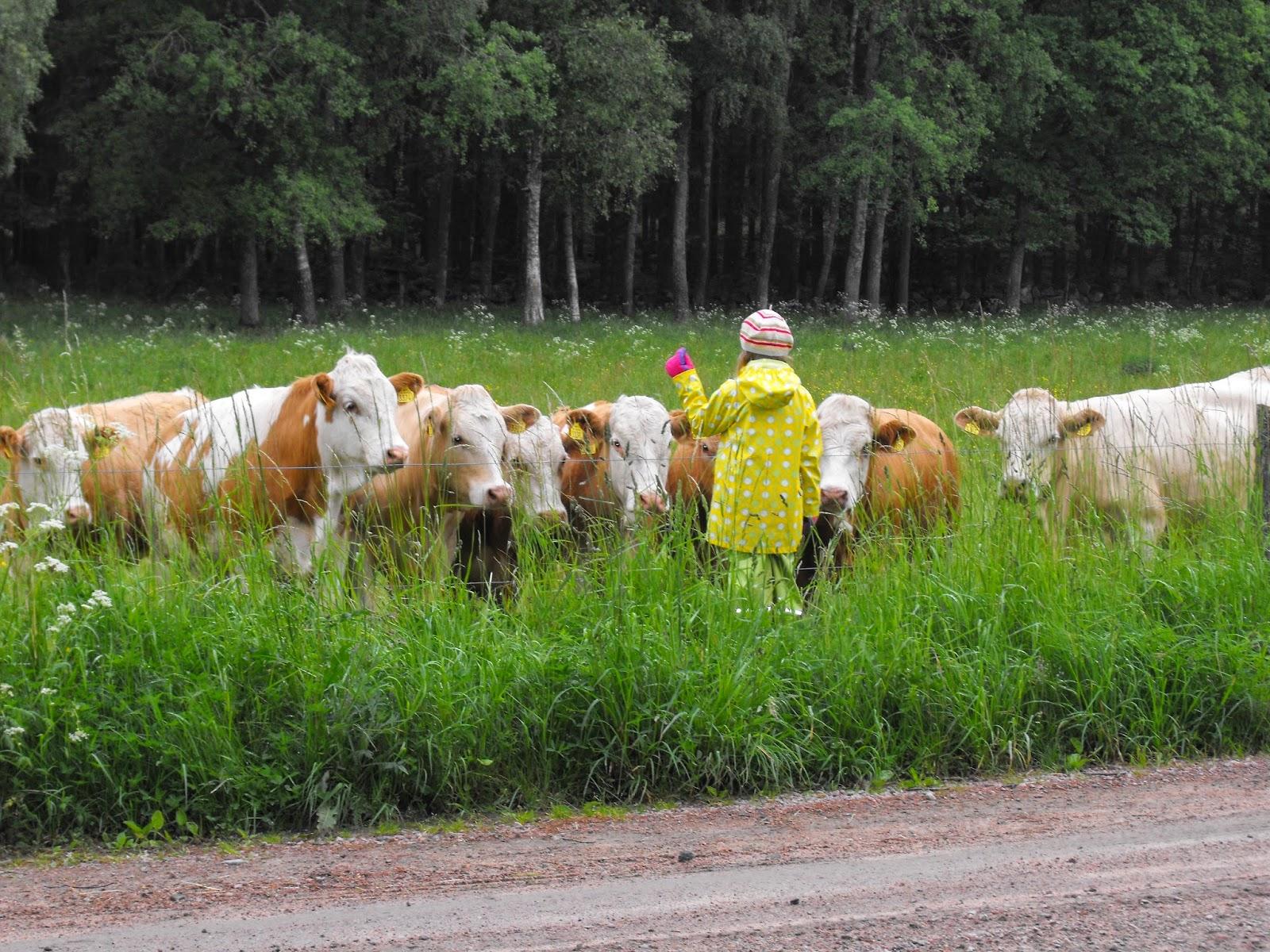 Sösdala, kor, gosa, mysa, mata djur. ko, kossor, barn med djur, Hässleholm