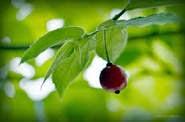 Tanaman Herbal Talok Atasi Batuk Berdahak