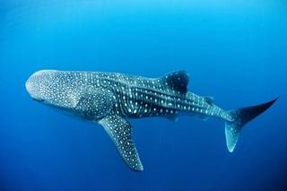 7 Ikan Hiu Terbesar Di Dunia