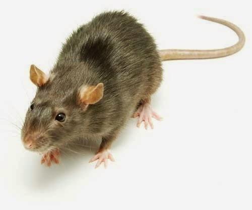 Aprende a evitar controlar y eliminar plagas en tu hogar como eliminar ratas ratones y otros - Como eliminar ratones en el hogar ...