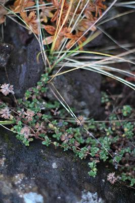 Wild Thyme (Thymus praecox subsp. articus) in Kerið Volcano Crater