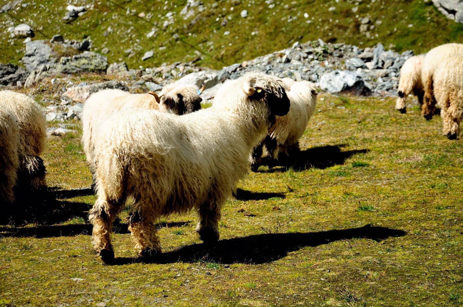 Verbier en été randonné hike andar oveja lanosa