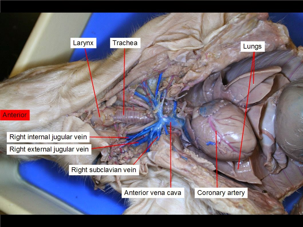 Anatomy Dissections: Dissection No. 4: The Fetal Pig Blood Vessels