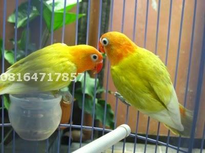 Lovebird Jogja
