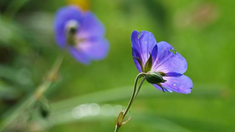 Geranium Rozanne er både en smuk, nem og blomsterrig staude til haven