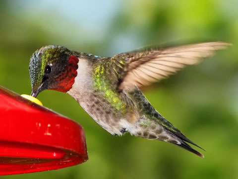 Pics: Hummingbirds catch flying bugs with the help of fast-closing beaks