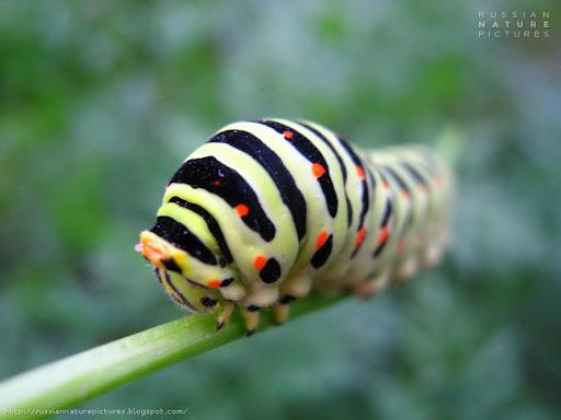 Caterpillar 01