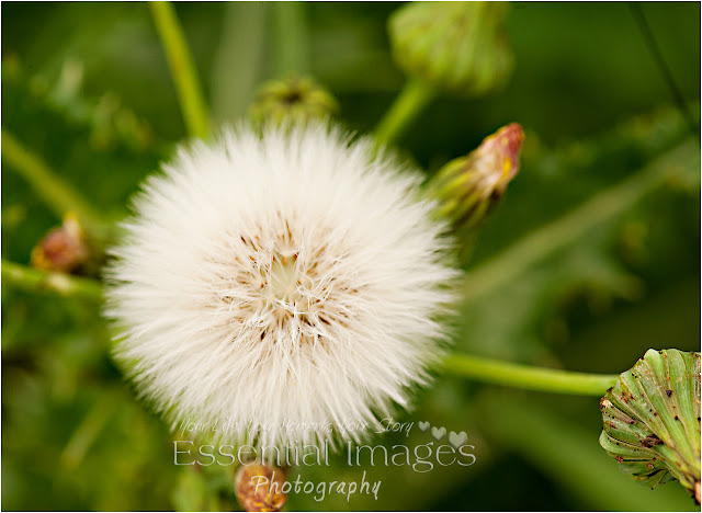 it looks like cotton wool, is it a dandelion