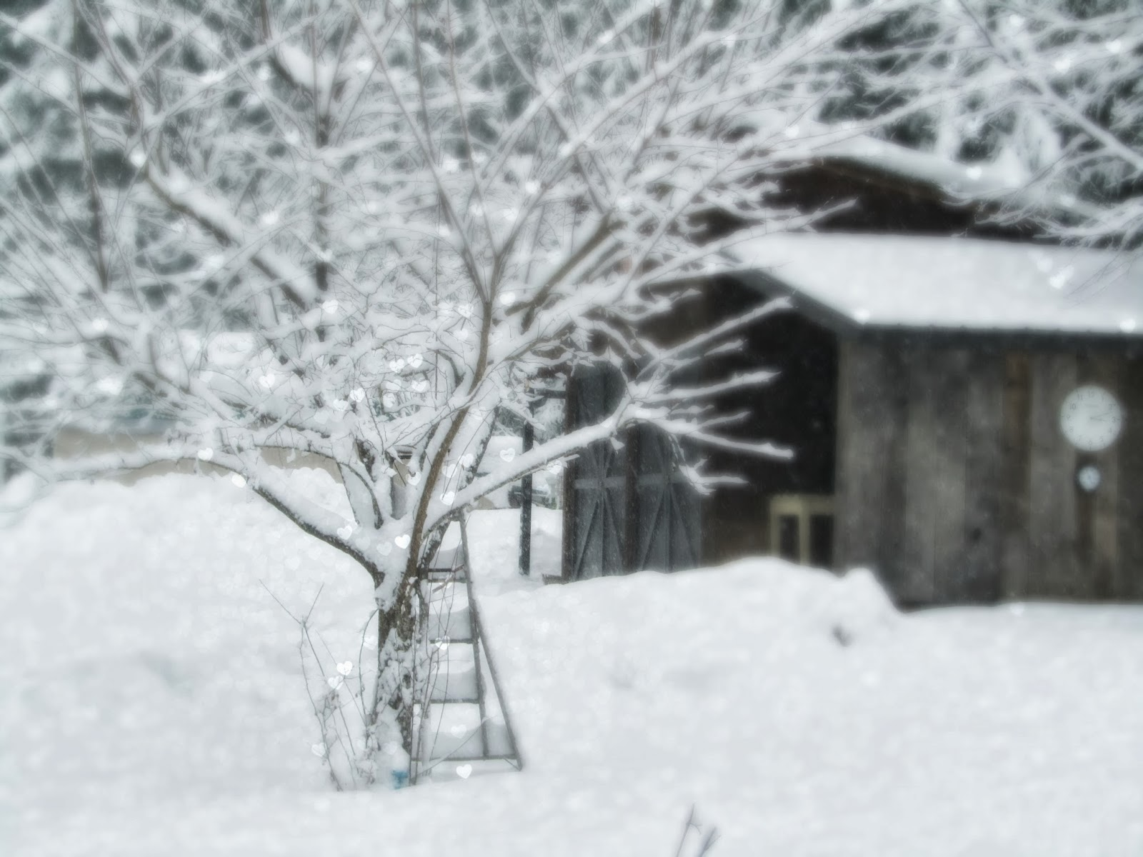 Fresh snow on the plum tree and shed