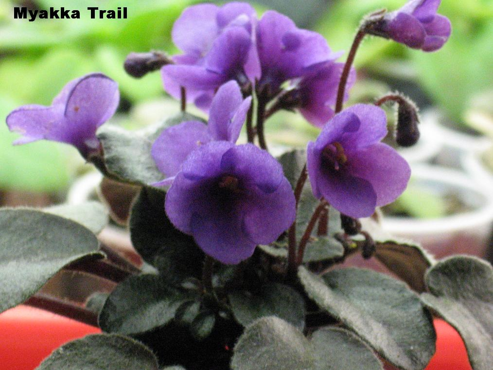Shanti's African violets