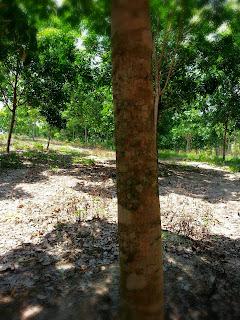 สวนยางพร้อมกรีด ขายถูก