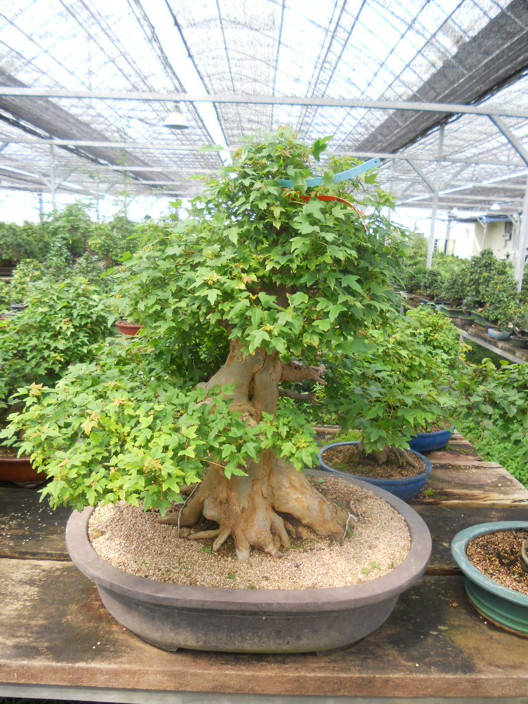 Walter Pall Bonsai Adventures Trident Maple 8