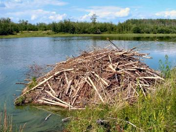 North american beaver project linnaeus