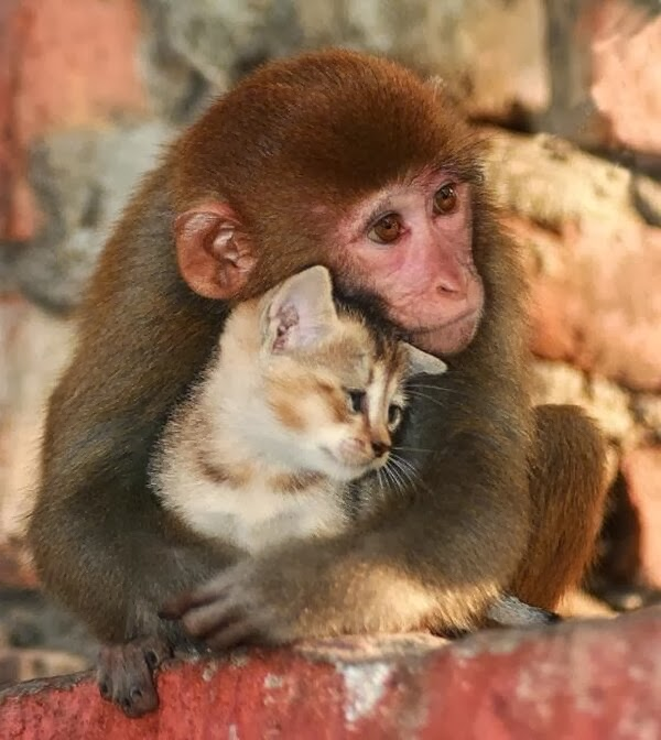 Funny animals of the week - 20 December 2013 (40 pics), monkey hugs kitten
