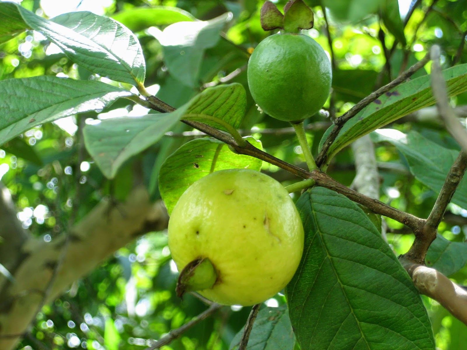 guava fruit Guava fruit production isn't affected by many pests the few pests attracted to guava trees seldom cause severe damage and most are controllable by natural methods.