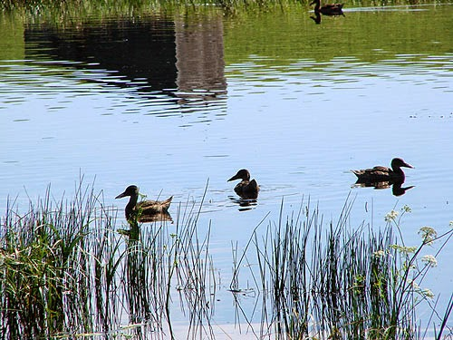 Ducks swimming in grassy pond - Alberta, Canada