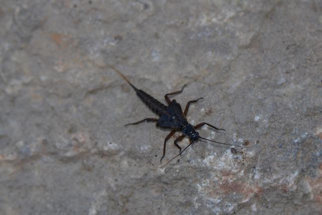 winter stonefly nymph