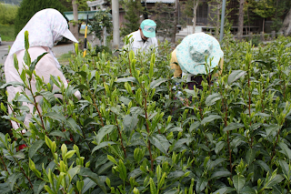 How Japanese Green Tea is Made