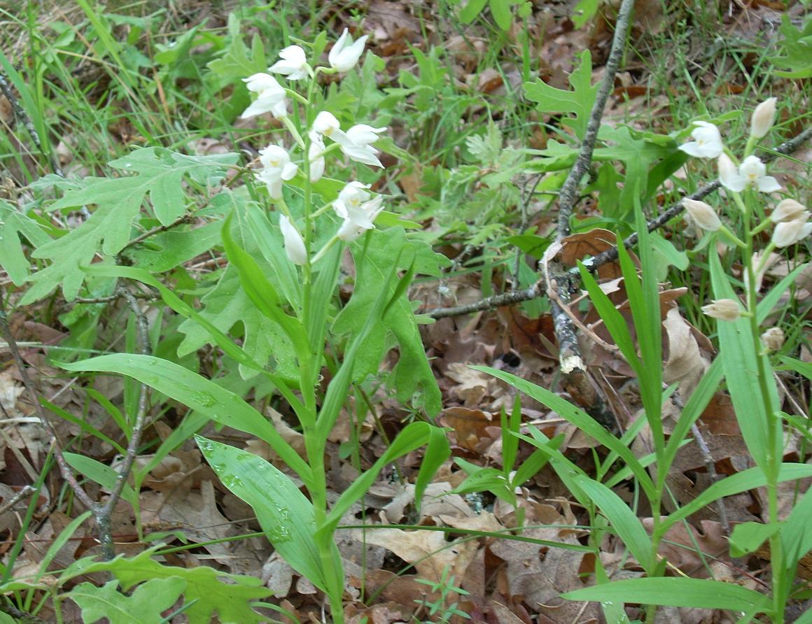 Dos ejemplares de la Cephalanthera longifolia, con las hojas largas y estrechas. Se trata de una orquídea que prefiere los bosques claros.