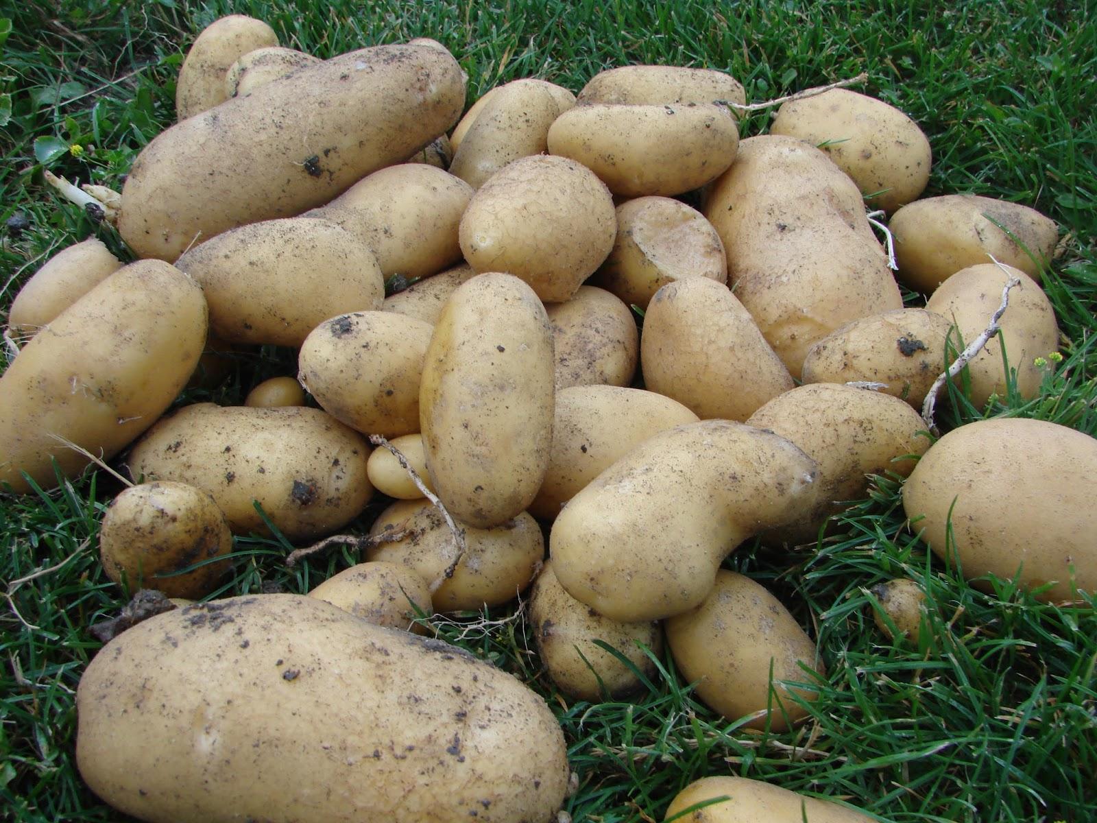 Au jardin d 39 aurore la pomme de terre - Arrosage pomme de terre ...