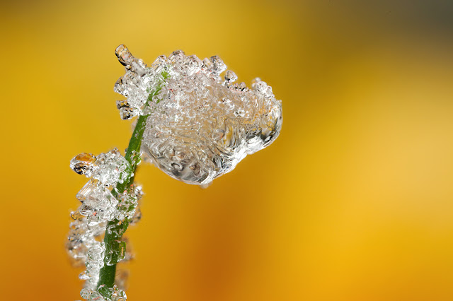 FROSTED+DEWDROP+2012++%25231.jpg