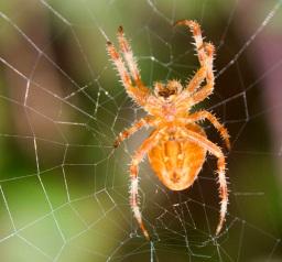 Foto de la araña común