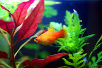 Platka - ryby akwariowe - 4
