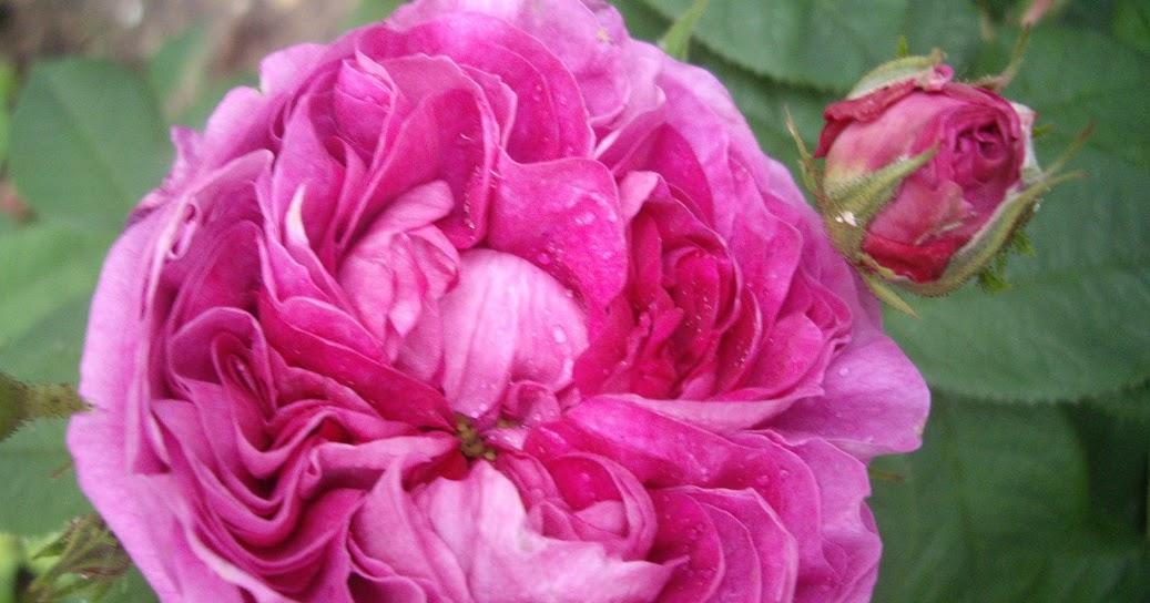 Derri re les murs de mon jardin overdose de roses 3 - Derriere les murs de mon jardin ...