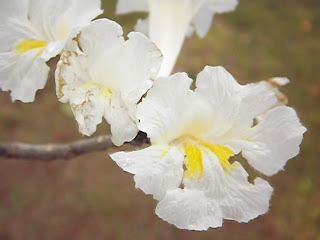 Como Plantar Sementes de Ipês Rosa,Roxo,Amarelo,Etc. DSCF5091