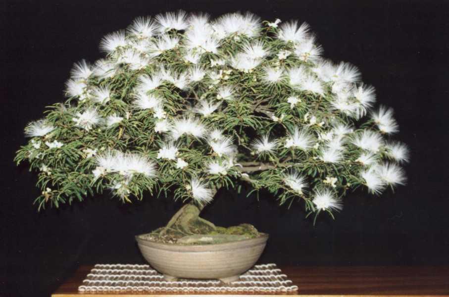 Ent o sou velho esp cie caliandra - Cultivo de bonsai ...