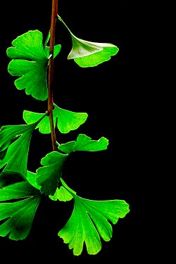 hojas-medicinales-de-ginkgo-biloba
