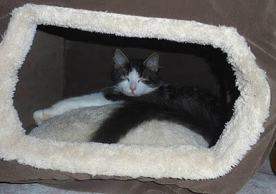 Anakin the two legged cat napping in the new Hidey-hole Bed