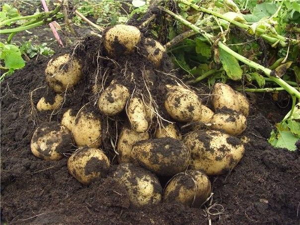 Огород когда сажать картофель 164