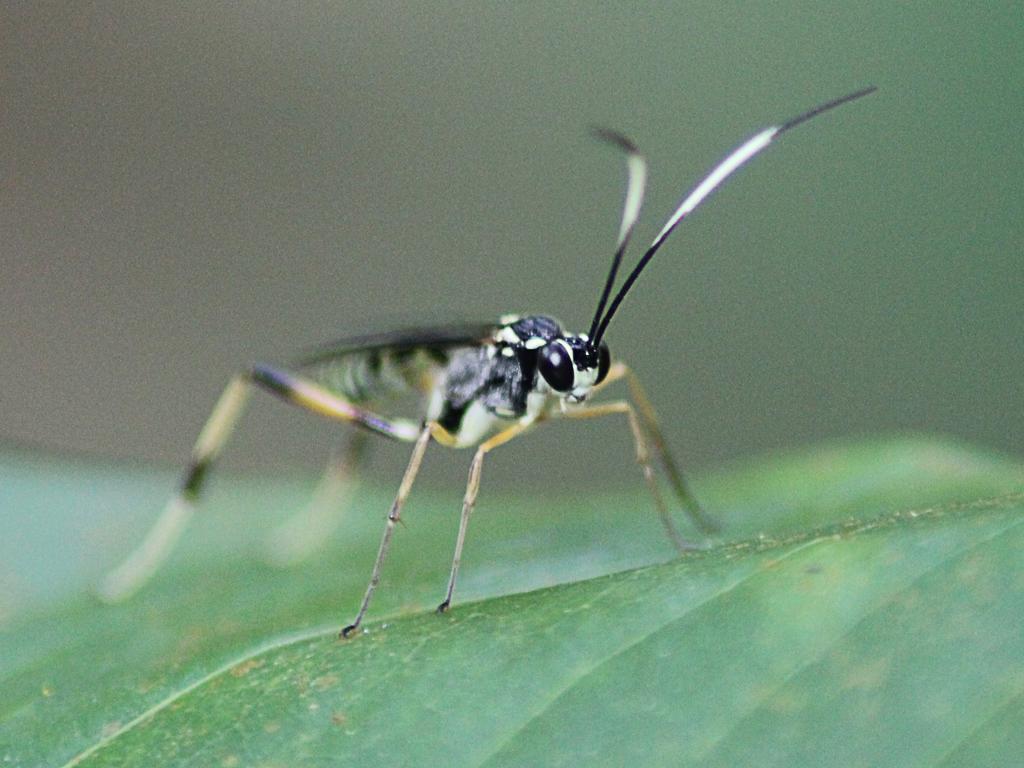 Black and White Banded Abdomen Ichneumon Wasp ... Black Ichneumon Wasp