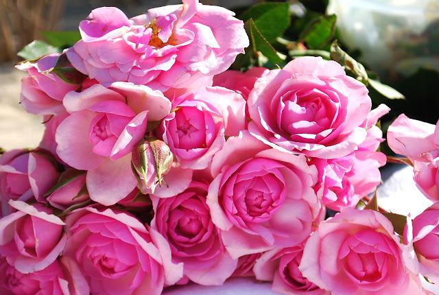 rozes, rozines rozes, roses, geliu puokste