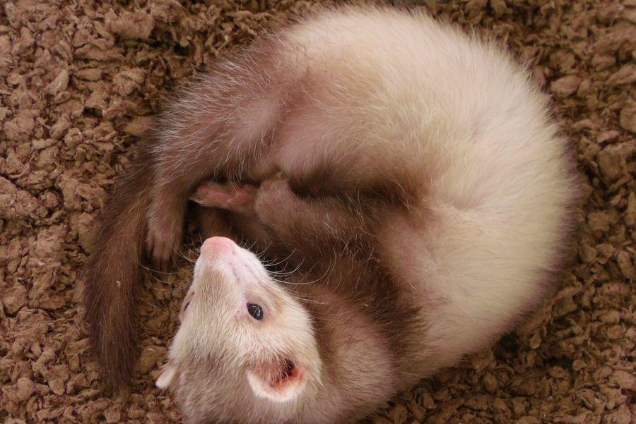 16. Baby Ferret by Katie Motta
