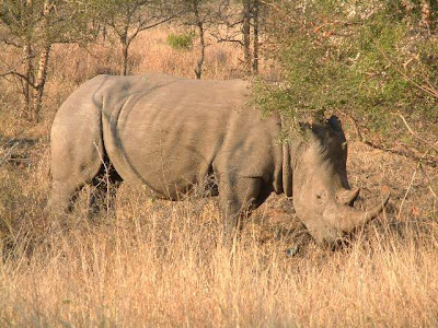 African-White-Rhino-Kruger-Park