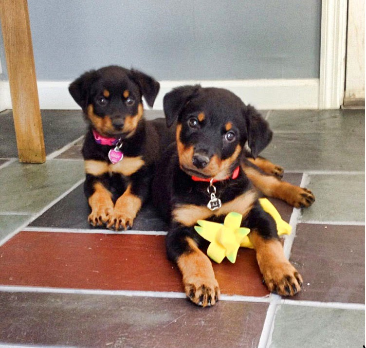 Cute Double Trouble Rotties