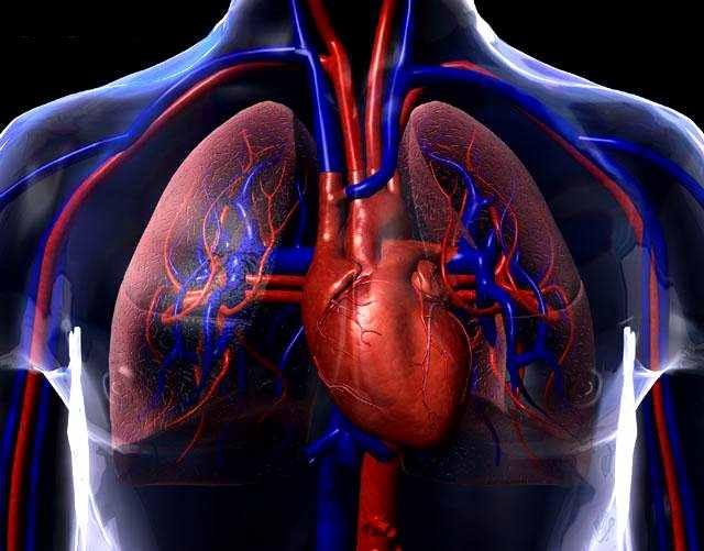 Sistema Cardiovascular - Anatomía y Fisiología   Portalmeds
