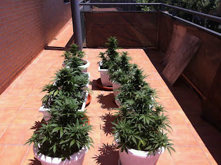 cannabis, automaticas, autoflorecientes