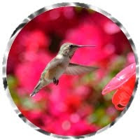 Hummingbird on its way to the nectar feeder, nature photography merchanbdise at CaliforniaDreamsPhotography.com