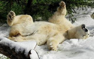 ảnh đẹp hình gấu bắc cực