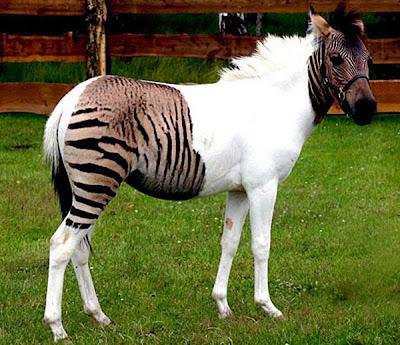 Zebra Horse - exnim.com