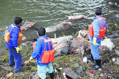 Lebih 5,900 bangkai babi ditarik keluar dari sungai di Shanghai