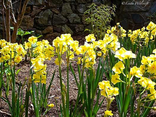 daffodils and rock wall