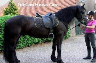 Taking care of a Friesian Horse