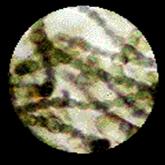Hasil rekam objek mikro tanpa Zoom