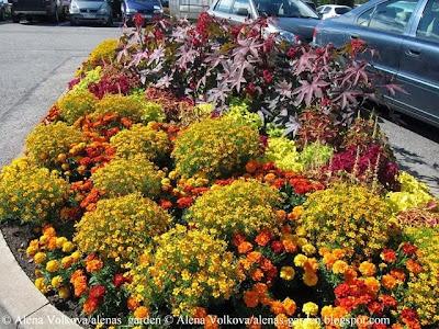 бархатцы, Tagetes, колеус, крапивка, Coleus hybridus, клещевина, Ricinus communis, торговый центр, Рига